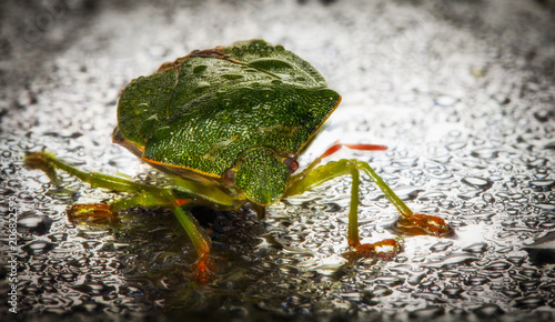 Photo  Dolycoris baccarum, the sloe bug, is a species of shield bug in the family Penta