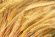 Dried Golden Wheat Heads
