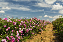 Bulgarian Rose Valley Near Kaz...