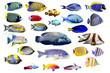 canvas print picture - Set of Marine fish on white isolated background. Peacock, Emperor, Flame angelfish. clown fish , Firefish, Purple firefish, Butterflyfish, Sweetlips, Humphead wrasse and Threadfin snapper etc.