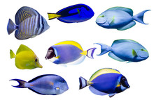 Various Species Of Surgeonfish...