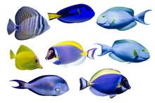 Various Species Of Surgeonfish...