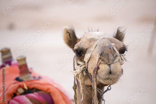 Muzzle camel in Egypt, close up. Animal in desert.
