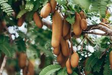 Tamarind Fresh Fruit On Tree, ...