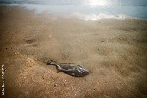 Photo  Fish - dead triggerfish on seashore