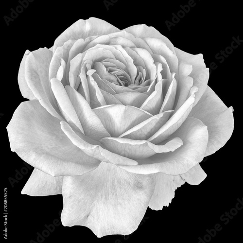 Foto op Canvas Bloemen Monochrome fine art still life floral macro flower portrait image of a single isolated white flowering blooming rose blossom on black background with detailed texture