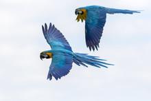 Tropical Birds In Flight. Blue...