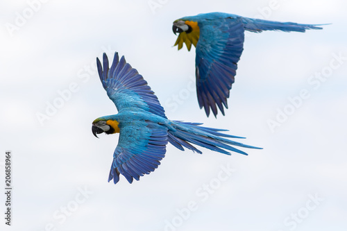 Tropical birds in flight. Blue and yellow Macaw parrots flying. Wallpaper Mural