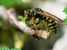 Wasp Feeding On Insect
