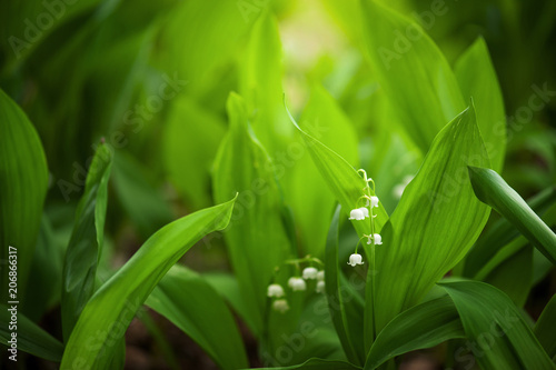 Leaves and flowers of lily-of-the-valley in the garden