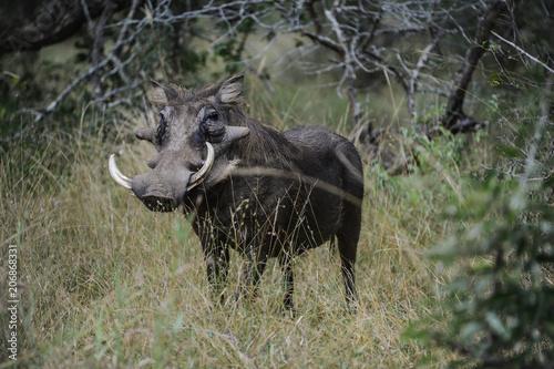 Fotografía Phacochère dans une réserve en Afrique du Sud