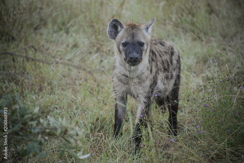 Tuinposter Hyena Hyène dans une réserve en Afrique du Sud
