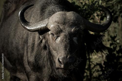 Fotobehang Buffel Buffle dans une réserve en Afrique du Sud