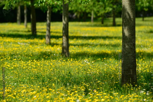 Apple orchard, Jersey, U.K. Telephoto image of a Spring meadow.