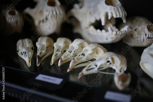 Valokuva Chicken and Dog Skulls for Sale at an Oddity and Curiosities Shop