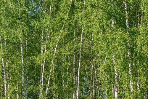 Naklejka premium Brzozowego drzewa lasu tło.