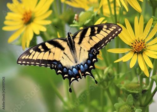 Swallowtail Canvas-taulu