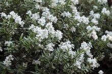 White Flowers Of The Hebe Pinguifolia