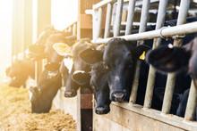 Dairy Cows In A Barn At Feedin...