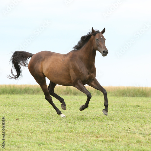 Staande foto Paarden Amazing brown horse running alone