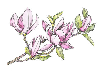 FototapetaBranch of purple magnolia liliiflora with flowers and leaves. Botanical black and white outline illustration with watercolor hand drawn painting, isolated on white background.