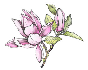 Plakat Branch of pink magnolia liliiflora (also called mulan magnolia) with flowers and leaves. Black and white outline illustration with watercolor hand drawn painting, isolated on white background.