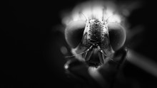 Fly Close Up In Black And White