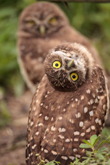 Funny Burrowing owl Athene cunicularia tilts its head outside its burrow