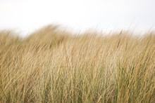 Beach Grass, Straw