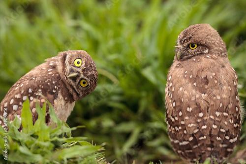 Fotografie, Obraz  Funny Burrowing owl Athene cunicularia tilts its head outside its burrow