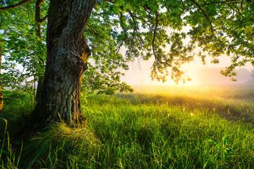 FototapetaGreen oak tree in the morning. Amazing summer landscape.