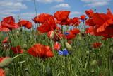 Fototapeta Flowers - Wiosna ,maki na polu ,maki w słoneczny dzień