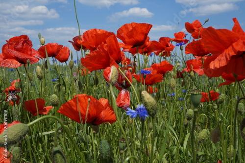 Fototapeta Wiosna ,maki na polu ,maki w słoneczny dzień obraz