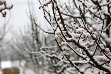 Apricot blossom flowers covered by snow in spring