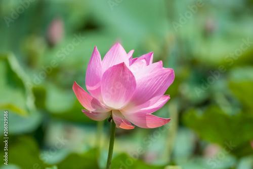 Deurstickers Lotusbloem Pink lotus flower in pond