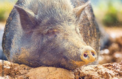 Foto op Plexiglas Asia land Vietnamese pig