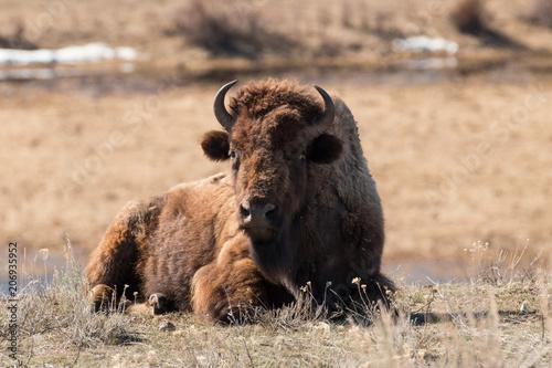 Foto op Plexiglas Buffel Female Bison
