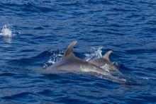 Beautiful Dolphin Swimming. Do...