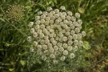 Ammi Visnaga Plant (toothpickweed)