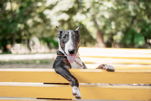 Bull Terrier Is Funny Sitting ...