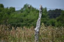 Scissor Tail Bird Perching On ...