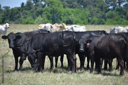 фотография  black Angus cow herd