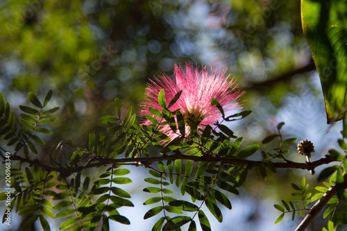 Image of cute fluffy pink flowers on blooming in thailand albizia image of cute fluffy pink flowers on blooming in thailand albizia julibrissin persian silk tree mightylinksfo