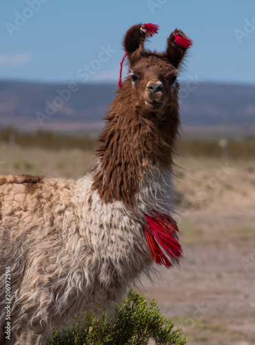 Decorated llama (Lama glama) over blurred natural background. Bolivia