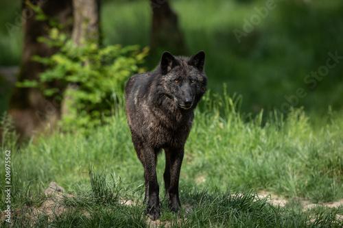Door stickers Hyena Black Wolf Animal