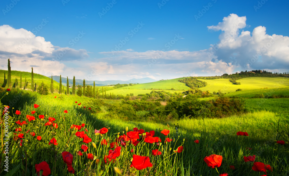art italy countryside landscape with red poppy flowers and cypress trees on the  mountain path