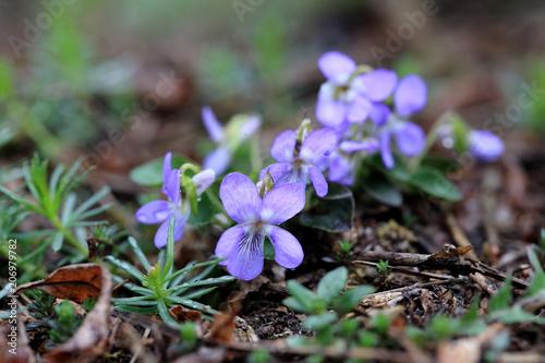 Fototapeta fiołek pagórkowy Viola collina obraz