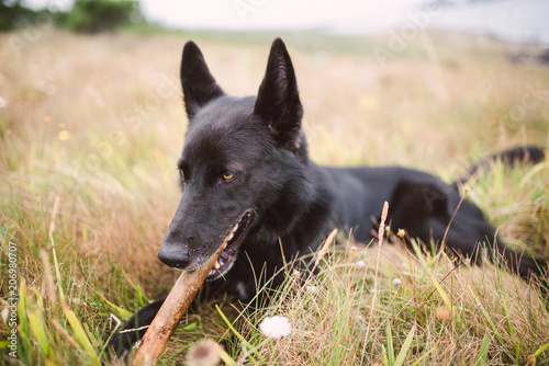 Fotografía  Black Belgian shepherd groenendael biting a stick