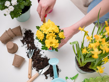Person Transplanting Flowers On Table With Soil, Watering Can, Scoop