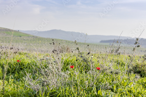 Keuken foto achterwand Zwavel geel Wild grass field with yellow flowers and red poppies and cultivated growing grove on background